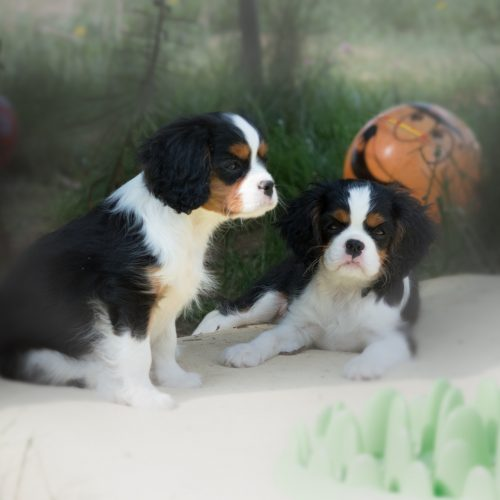 cavalier-king-charles-spaniel-welpen-2018a